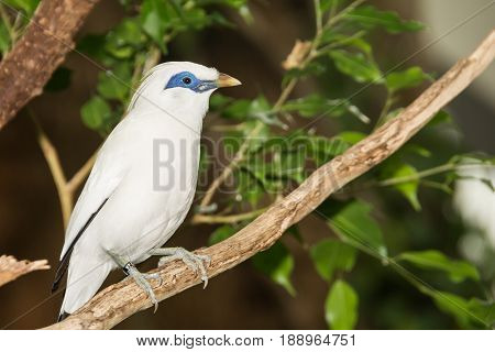 A close up of a Bali Myna at the Central Park Zoo in New York.