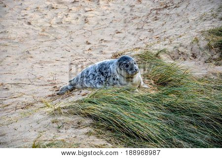 Cute baby seal at the beach in England