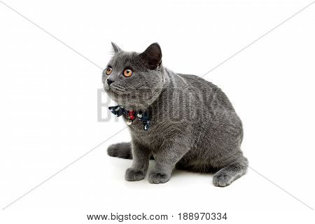 Gray kitten with a bow on a white background. Horizontal photo.