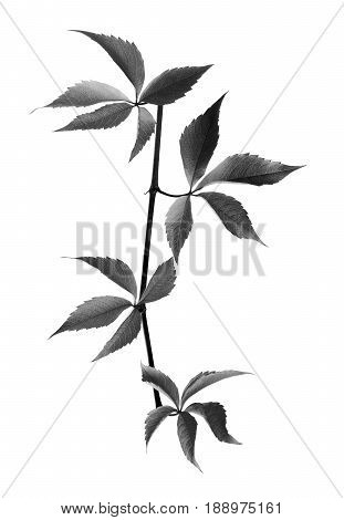 Black And White Branch Of Grapes Leaves