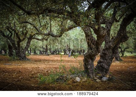 Red earth under the olive trees farm for the production of olives