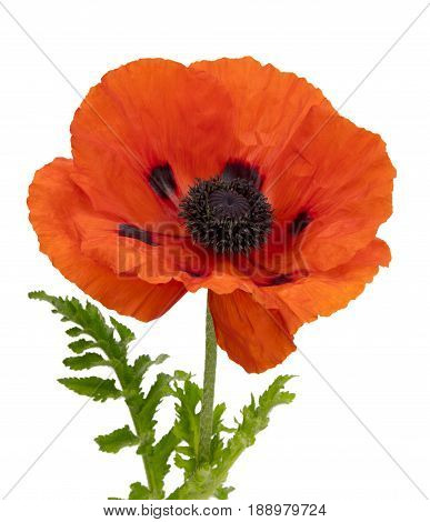 View of a single red poppy on a white background.