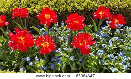 Bright beautiful Tulips and Forget Me Not flowers