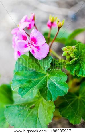 Close Up Pink Geranium Flowers In Garden