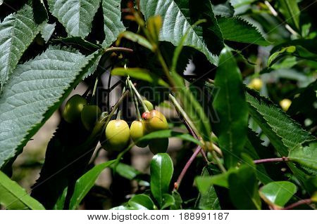 Sweet cherry. Cherry. Unripe fruit. Orchard.  j