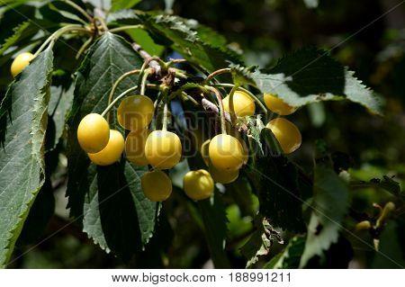 Sweet cherry. Cherry. Unripe fruit. Orchard.  c