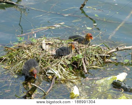 A nest of ducklings on Adda River - Lombardy - Italy