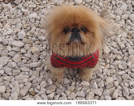 Little shaggy dog a Pekinese with a speaking glance