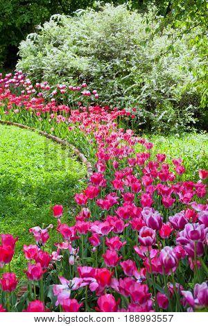 Flower bed of bright vivid purple tulips in formal spring garden
