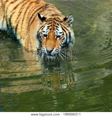 Close up of an Amur tiger face and upper body walking into the water showing its beautiful stripes the tigers face is reflected in the water. With space for text.