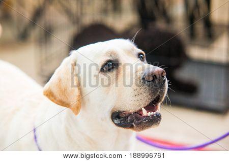 Portrait of purebred golden retriever. Close up dog