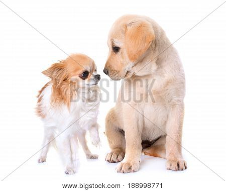 puppy labrador retriever and chihuahua in front of white background