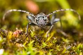 Longhorn beetle (Anaglyptus mysticus) head on. Distinctive British beetle in the family Cerambycidae on moss poster