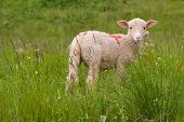 a lamb in a prairie with flowers poster