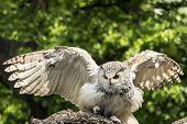 The Eurasian eagle-owl (Bubo bubo) start to fly. Owl also called European eagle-owl poster
