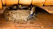 Swallow and baby birds in a nest poster