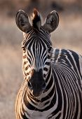 Zebra at dusk in low light eating dry grass poster