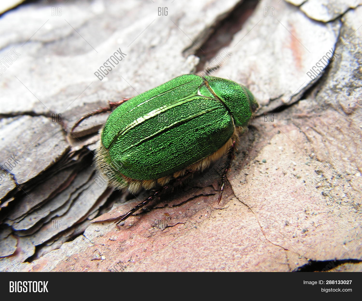 Green Chafer Bug Image & Photo (Free Trial) | Bigstock