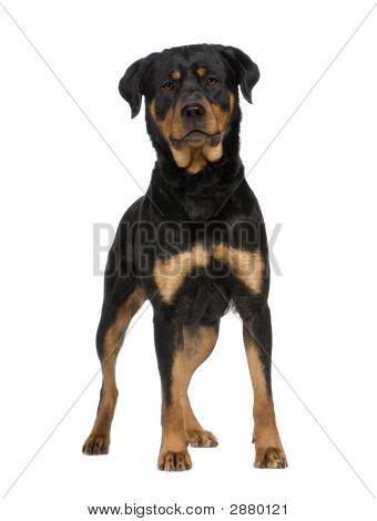 Rottweiler (2 Years)