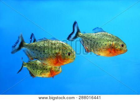 A Flock Of Dwarf Piranhas (serrasalmus Hollandi) In The Aquarium