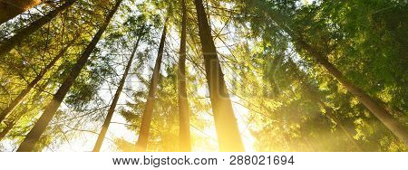 Forest. Panoramic View Of Evergreen Conifer Forest