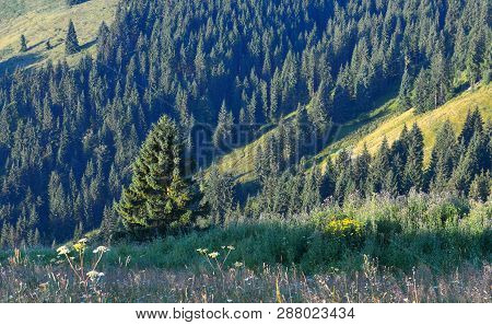 Evergreen Conifer Forest In Highland With Flowering Grass