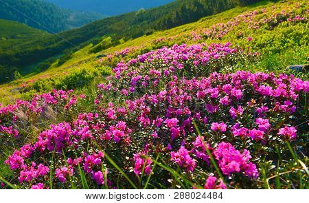 Rhododendron. Flowering Of Pink Rhododendron In Summer Mountains