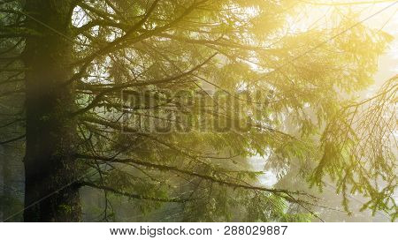 View Of Evergreen Conifer Forest In Spring