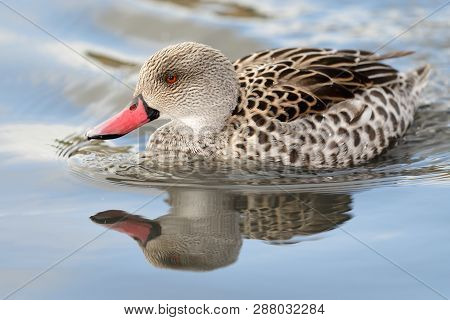 Portrait Of A Cape Teal (anas Capensis) Swimming In The Water