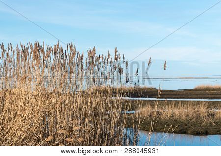 Beautiful Sunlit Dry Reeds With Flowers By A Background Of Calm Blue Water In A Marshland
