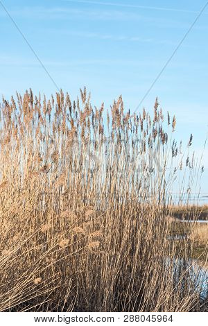 Closeup Of Dry Reeds With Fluffy Flowers In A Bright Wetland