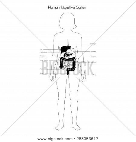 Vector Isolated Illustration Of Human Digestive System Anatomy. Esophagus, Stomach, Duodenum, Pancre