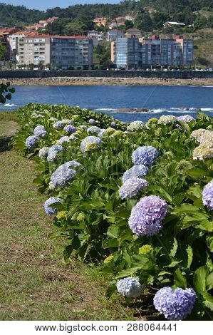 Huge Blue Flowers Of The Hydrangea Plant In Bayonne. Nature, Architecture, History, Travel. August 1