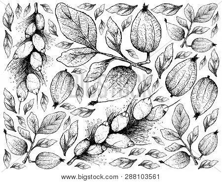 Tropical Fruit, Illustration Hand Drawn Sketch Gardenia Erubescens And Barringtonia Edulis Fruits Is