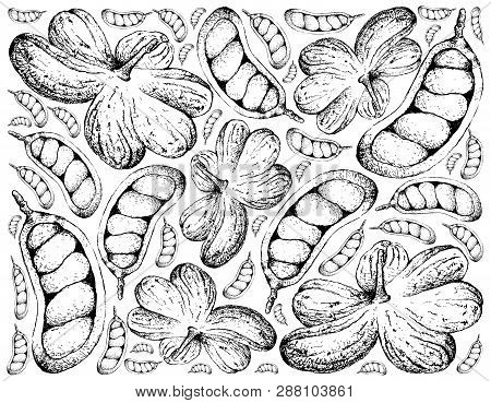 Tropical Fruit, Illustration Hand Drawn Sketch Cola Millenii Fruits Hanging On Tree Bunch Isolated O