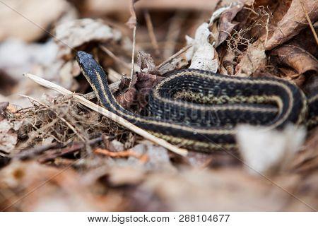 Garter Snake in nature close up