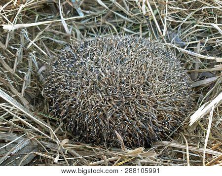A Hedgehog Hibernates In Dry Grass Background.