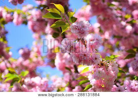 Cherry Blossom. Spring Flowers Background. Sacura Cherry-tree. Sakura Festival