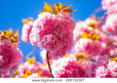Cherry Blossom. Sacura Cherry-tree. Beautiful Floral Spring Abstract Background Of Nature