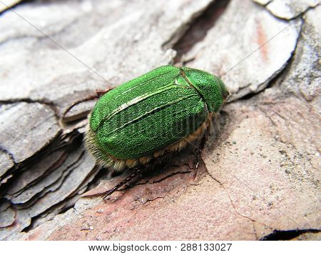 Green chafer bug or garden foliage beetle on tree bark background. Macro of green bug beetle on wooden background. Top view closeup of green chafer beetle or Phyllopertha horticola bug flying in may poster