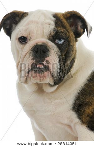 cute puppy - english bulldog puppy with one brown eye and one blue eye - 4 months old