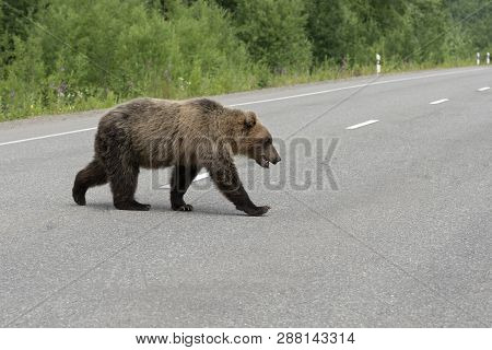 Hungry And Angry Kamchatka Brown Bear Waddles Walking, Across Of Asphalt Highway. Eurasia, Russian F