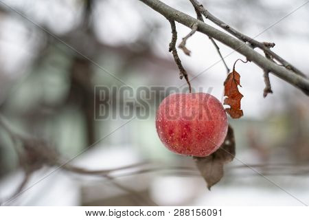 Frozen Red Apple Hanging On Tree By Winter