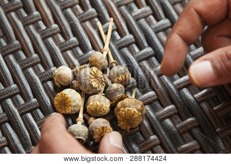 Hands selecting poppy dry buds of the narcotic drug opium which contains powerful medicinal alkaloids such as morphine and has been used since ancient times as an analgesic on a basket background. poster