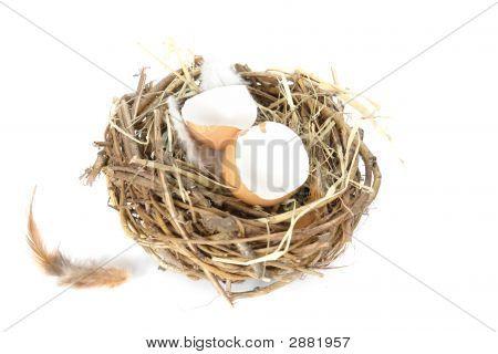 Empty Egg Shells In Nest