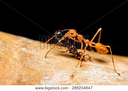 Close Up Red Ant Killing Bite And Drag Black Ant To Eat. Animal Nature Concept.