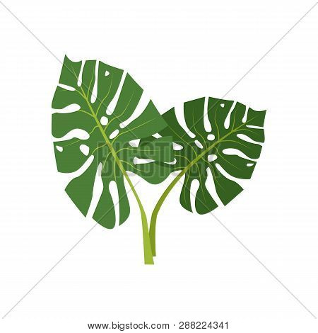 Exotic Monstera Illustration. Nature, Flora, Summer. Nature Plants Concept. Vector Illustration Can