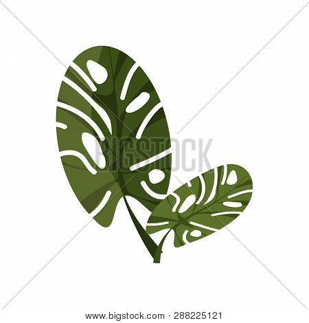 Tropical Monstera Illustration. Nature, Flora, Summer. Nature Plants Concept. Vector Illustration Ca