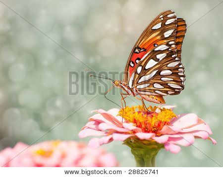 Dreamy image of a Gulf Fritillary Butterfly feeding on a pink Zinnia flower poster