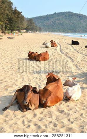 Cows on Agonda beach of South Goa, India